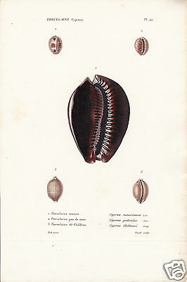 Porcelaine(Cyproea)(1)-Conchiglie-Coquilles-Shells.