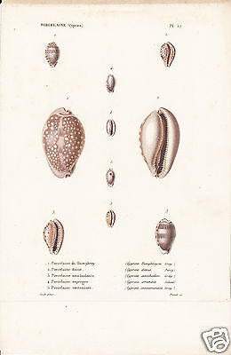 Porcelaine(Cyproea)(3)-Conchiglie-Coquilles-Shells.