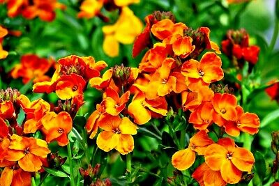 WALLFLOWER 'Fire King' 100 seeds COTTAGE GARDEN easy to grow FRAGRANT orange red