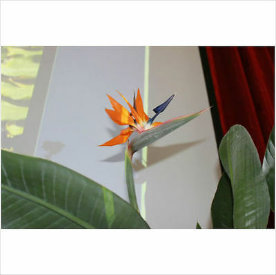 Bird of Paradise - - Stunning House or Conservatory Plant- 5 seeds