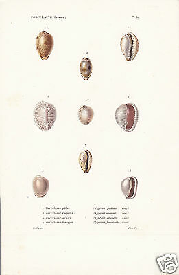 Porcelaine(Cyproea)(7)-Conchiglie-Coquilles-Shells.