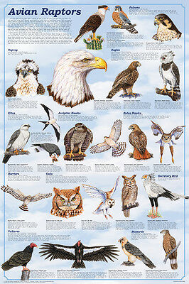 Avian Raptors Poster (61X91Cm) Educational Wall Chart Picture Print New Art