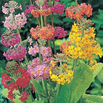 Primula Candelabra mix - approx 50 seeds - Perennials