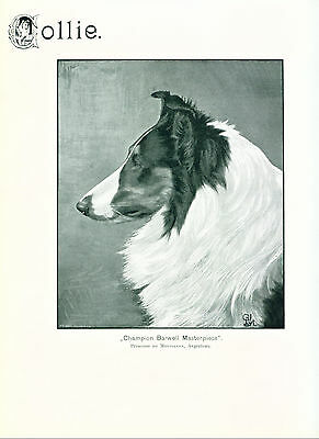RARE ANTIQUE Dog Print 1904 Collie Dog named Champion Barwell Masterpiece