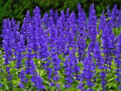 SALVIA 'Blue Bedder' 100+ seeds cottage flower garden EASY TO GROW purple blue