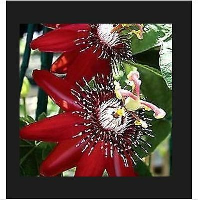 Passion Flower Seeds Red 5 seeds