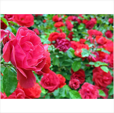 Climbing Rose Seeds Climber Fire Red Perennials Flower Bulk Seeds