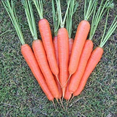Carrot Nantes  Early Finger Carrot Sweet And Juicy Bumper Seed Deal 5000+ Seeds