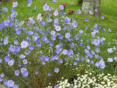 Linum Perenne - Flax -  Appx 1300 seeds - Perennial