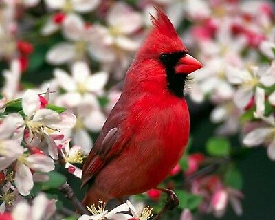 Red Cardinal / BIRD 8 x 10 / 8x10 GLOSSY Photo Picture