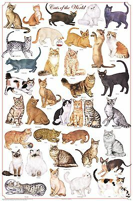 (LAMINATED) Cat Breeds POSTER (61x91cm) Educational Chart Picture Print New Art