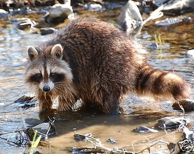 Raccoon 8 x 10 / 8x10 GLOSSY Photo Picture IMAGE #6