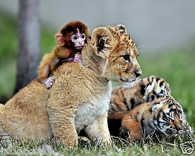 Tiger Cub & Monkey / Wildcat 8 x 10 / 8x10 GLOSSY Photo Picture IMAGE #16
