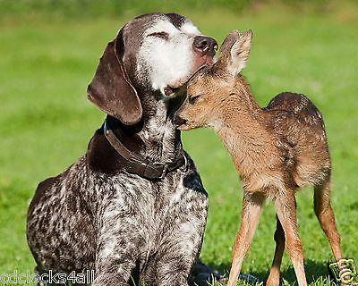 Dog & Fawn / Deer 8 x 10 / 8x10 GLOSSY Photo Picture