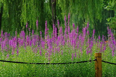 Purple Loosestrife - Lythrum salicaria -appx 10,000 seeds - Wildflower perennial