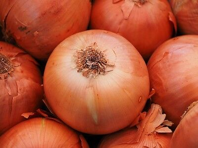 ONION Gladalan Brown 100+ seeds vegetable garden HEIRLOOM non gmo winter garden