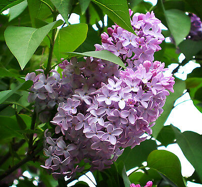 Fragrant Old Fashioned Purple Lilac, 2 Young Bare Root Plant Divisions