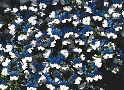 40+ Nemesia Blue and White Flower Seeds / KLM / Strumosa / Annual