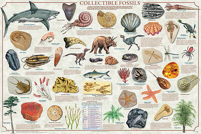 (LAMINATED) Collectible Fossils POSTER (61x91cm) Educational Wall Chart Picture