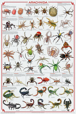 (LAMINATED) SPIDERS POSTER (61x91cm) EDUCATIONAL CHART PICTURE PRINT NEW ART