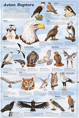 (LAMINATED) Avian Raptors POSTER (61x91cm) Educational Wall Chart Picture Print