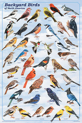 Backyard Birds Poster (61X91Cm) Educational Wall Chart Picture Print New Art