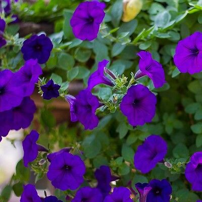 Petunia Express Blue - 50 Pelleted seeds - Annual