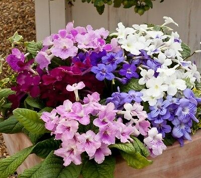 Streptocarpus Cape Cool Mix F1 - 25 Pelleted seeds - Cape primrose - Flowers