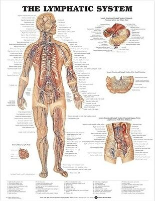 Lymphatic System (Laminated) Poster (66X51Cm) Anatomical Chart Human Anatomy