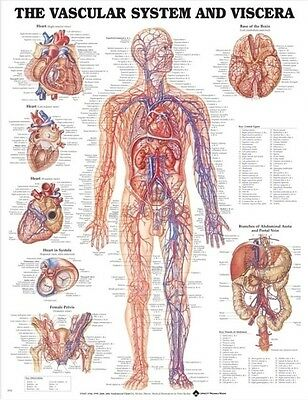 Vascular System And Viscera POSTER (66x51cm) Anatomical Chart Human Body Anatomy