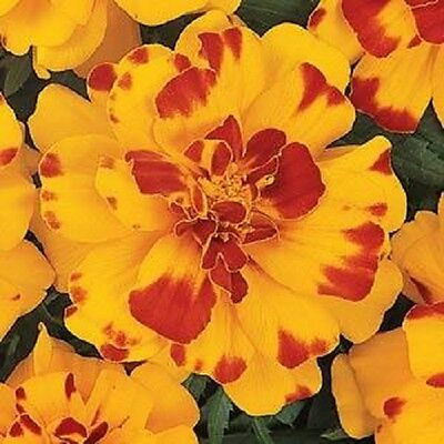 Marigold Durango Bolero -  French type 30 de-tailed seeds - Annuals