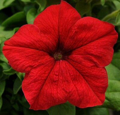 Petunia Express Red - 50 Pelleted seeds - Annual