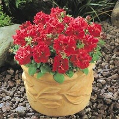Petunia Grandiflora F1 Double Duo Red  - 30 Pelleted seeds - Annual
