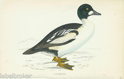 "Antique Print Vintage 1800S Hand Colored Plate Duck Golden Eye 7X5"" Exquisite"
