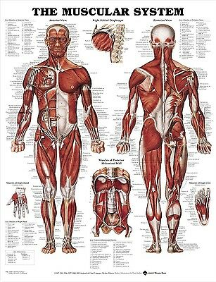MALE MUSCULAR SYSTEM (LAMINATED) POSTER (66x51cm) ANATOMICAL CHART HUMAN ANATOMY