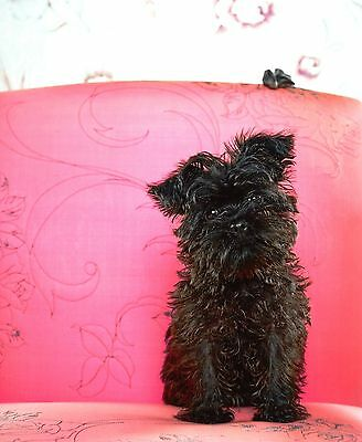 Catherine Ledner - Brownie, Brussels griffon, Photo Poster 50x60cm Brüsseler