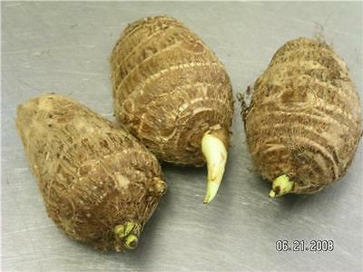 3 LIVE Colocasia Esculenta Elepant Ear Taro Gabi Kalo Eddo Bulbs FAST GROWING