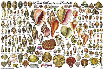 North American Sea Shells (LAMINATED) POSTER (61x91cm) Educational Chart New