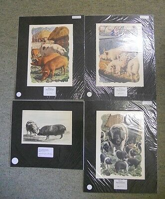Collection of 4 Victorian & Antique Colour Prints Relating to Pigs. by Anon
