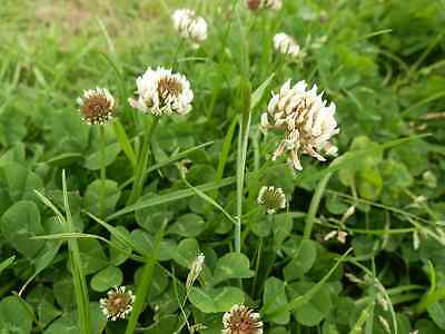 Green Manure Seeds - White Clover - 20gms (approx 30,000 seeds)