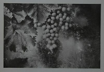 David Hamilton Ltd. Ed. Photo Phototypie 38x28cm Still Life Stilleben Wine Grape