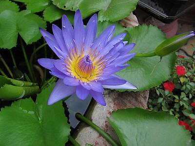 Nymphaea Nouchali 15-2000 Seeds, Blue Water Lily, Aquatic Star Lotus, USA