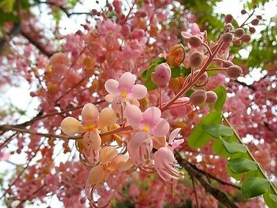 Cassia Grandis 15/25/100 Seeds, Tropical Coral Shower Flowering Tree WOW!