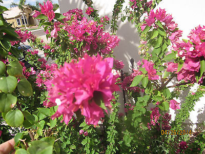 bougainvilea bush  similar to Pixie Pink  , 10 +cuttings  everblooming gorgeous