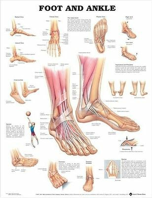 ANATOMY OF FOOT AND ANKLE POSTER (66x51cm) ANATOMICAL CHART HUMAN BODY MEDICAL