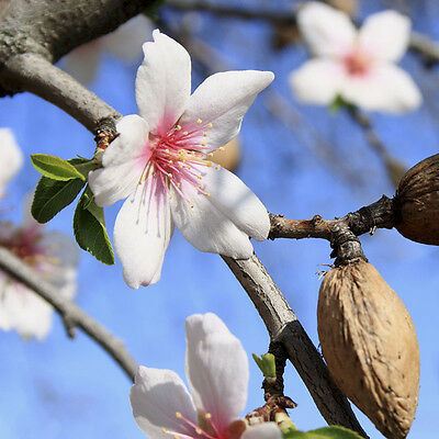 Garden Prince' Almond Nut and Fruit Tree in a 7.5L Pot