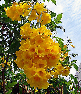 Tecoma Stans, Yellow Elder, Trumpet Shrub Bush, Sm Tree 20-1500 Seeds