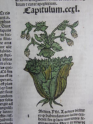 Incunable Leaf Hortus Sanitatis Lettuce Colored Woodcut Venice - 1500