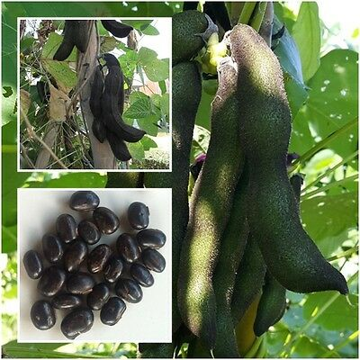 MUCUNA PRURIENS 10 Seeds, Velvet bean, Tropical Seeds, Unique Rare From  Thailand