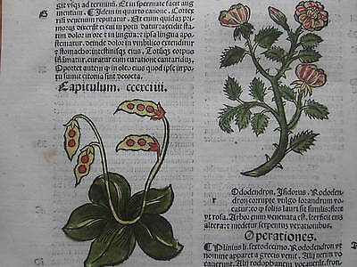 Incunable Leaf Hortus Sanitatis Rhododendron Colored Woodcut Venice - 1500